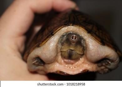 Razorback Musk Turtle head shot being held in human hands
