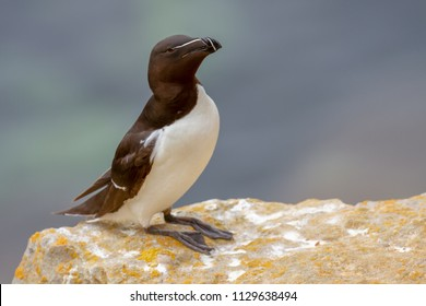Razorbill (alca torda) perched on Pembrokeshire Cliff Ledge, Wales, UK