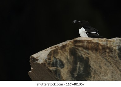 Razorbill on coast