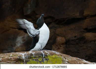 A Razorbill is perched on a cliff and stretching its wings. Also known as a Lesser Auk. Bird Islands, Cape Breton Island, Nova Scotia, Canada.