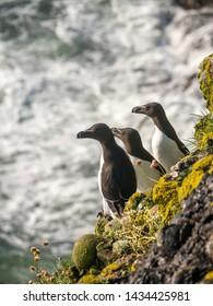 Razorbills (Alca Torda) perched on the rocks in Scotland
