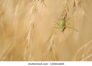 Rdasshoppers on grass