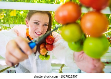 reaching for a ripe truss of tomatoes to harvest them in a greenhouse