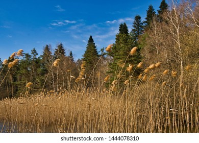 Reads blowing in the wind with fir trees in the background and a blue sky