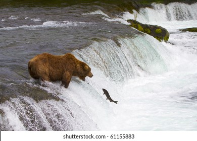 Ready for the Catch - Grizzly bear ready to catch a jumping salmon.