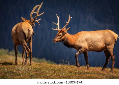 Ready to fight, two Elks from rocky mountains national park