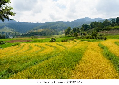 Ready to harvest rice field in North Sumatra - Indonesia