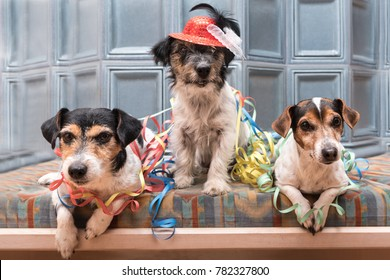 Ready for the party - three Jack russell dogs dressed for carnival
