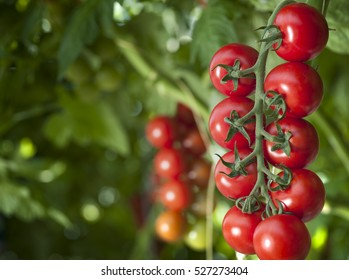 Ready red tomatoes at greenhouse, closeup