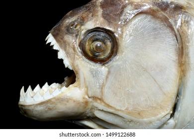 Real Amazon Predator! The Black Piranha (Serrasalmus rhombeus) with big teeth