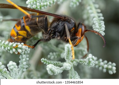 Real Asian wasp, also called Vespa velutina macro photography