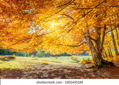 Real Autumn landscape - big forest golden tree with sunlight on sunny meadow