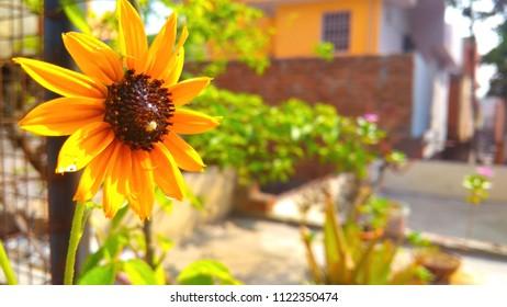 Real beauty of Sundlower