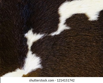 Real black and white cow hide. Close up Cow fur texture. Animal real fur background. Detail of black and white fur of cow. Pattern of cowhide. Leather hair with beautiful style. Skin and hair of cow.