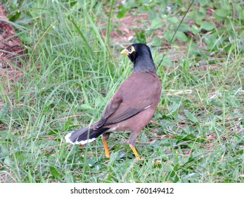 Real brown myna (Mynah) bird or known as Acridotheres tristis in close view