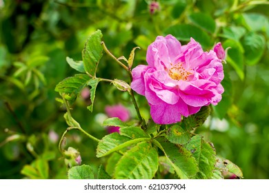 Real Bulgarian Damascena Rose from Rose Valley