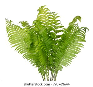 Real bush of a green forest fern  plant. Isolated on white studio shot