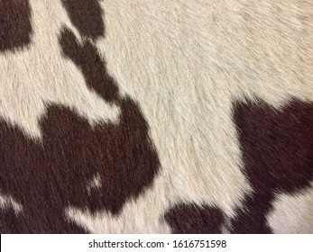 Real Cowhide. Beautiful white and brown cowhide pattern. Close up cow fur leather. Real animal fur background. Detail of wool leather. Real skin and hair of a cow, in natural  style.