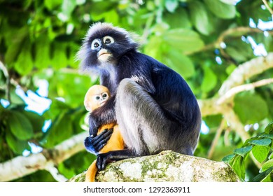 Real dusky leaf monkey in close up in Penang Hill, Malaysia
