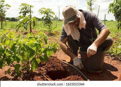 Real farmer cultivating and planting Redwood (or Brazilwood) on a fertile red soil under strong sunny at brazilian countryside landscape