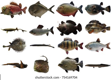 Real fish on white background. Biodiversity concept