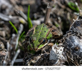 The real frog (lat. Ranidae) is a family of tailless amphibians