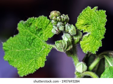 Real green pretty buds of mallow plant in bright light - Shutterstock ID 1907693284