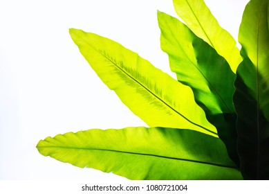 Real Green tropical leaves on white background. backlit flat lay