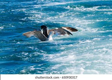real gull in flight hunting for fish in the upper seabird sea Tuscan Archipelago Viareggio Italy