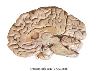 Real human half brain anatomy isolated on white background