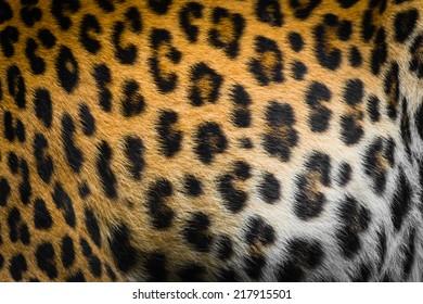 Real jaguar skin