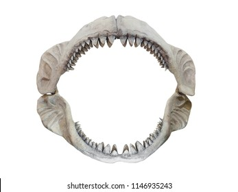 Real jaws of Carcharodon Megalodon, the largest shark to have ever lived on Earth