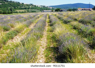 real lavender field in Provence-Alpes-Cote d'Azur region in France
