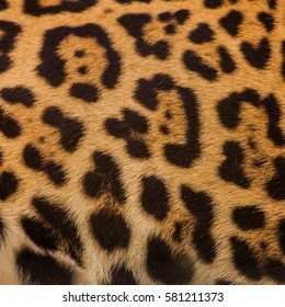 Real Leopard Skin for background and texture