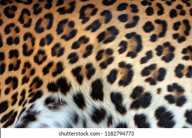 Real leopard skin fur texture for background