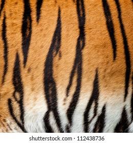 Real Live Tiger Fur Stripe Pattern Background Panthera Tigris