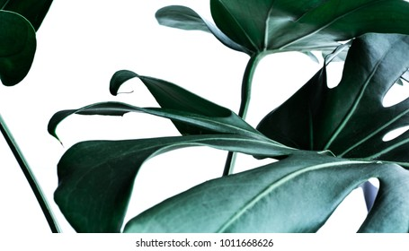 Real monstera leaves decorating for composition design.Tropical,botanical nature concepts ideas.