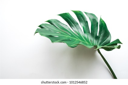 Real monstera leaves on white background.Tropical,botanical nature concepts ideas.flat lay.top view