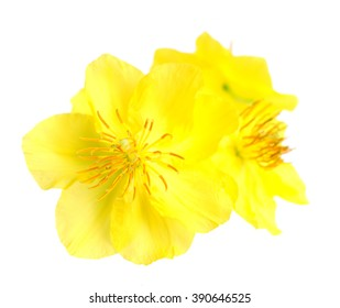 Real  ochna integerrima flower for New Lunar Year in Vietnam isolated on white