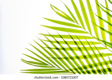 Real palm leaves/Green tropical on white background. backlit flat lay