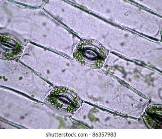 Real photo of plant cells and stoma with green chloroplast