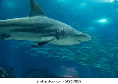 Real Sand Tiger Shark Underwater in Natural Aquarium