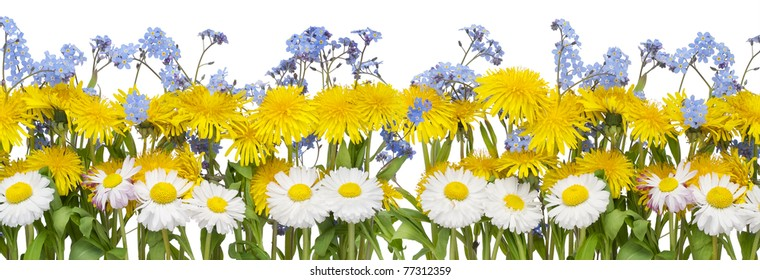 Real spring border from yellow Dandelions, white Daisies and blue Forget-me-nots (Myosotis) flowers. Isolated on white