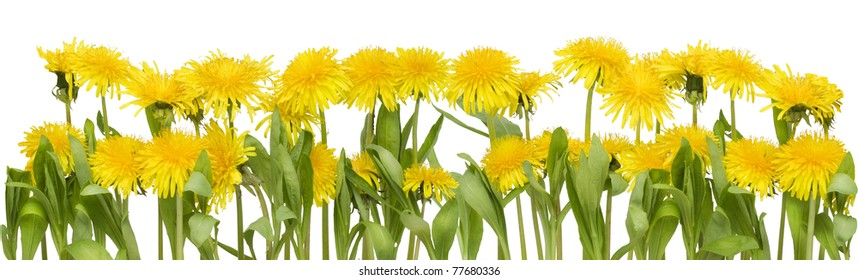Real spring border from yellow dandelions flowers. Isolated on white