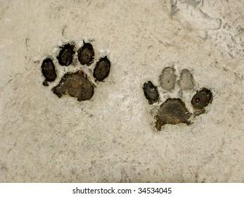 Real tiger footprints