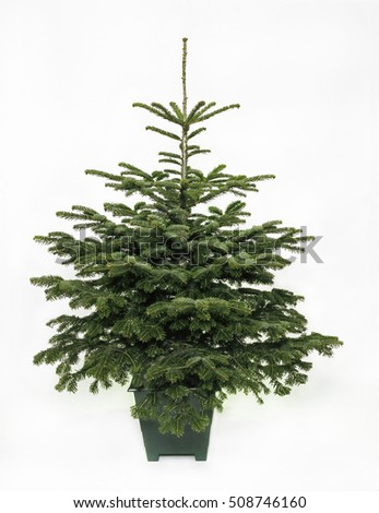 Real undecorated bare small Christmas tree in a green pot.