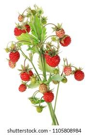 Real wild  strawberries  red ripe and green berries on one  bush. Isolated on white macro studio shot
