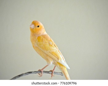 Real yellow canary songbird perched on a twig