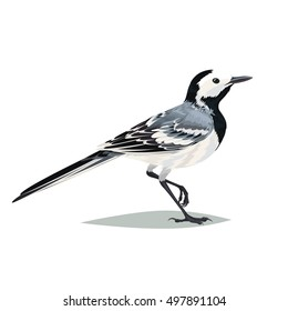 Realistic bird Wagtail on a white background. Illustration of realistic bird Wagtail for your journal article or encyclopedia.