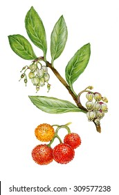 realistic illustration of strawberry tree (Arbutus unedo) with a branch with flowers, leaves and fruits